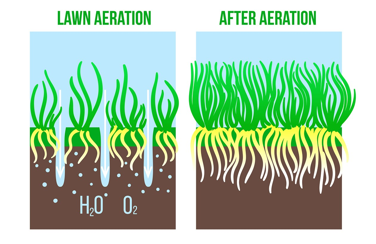 infographic of grass roots during & after aeration